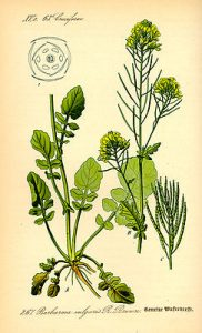 243px-illustration_barbaraea_vulgaris0